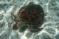 GH010667_Schildkröte-Medium